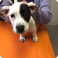 Dalmatian/Mixed Breed (Medium) Mix Puppy for adoption in Valley Park, Missouri - Skye