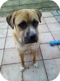 Boxer Mix Dog for adoption in North Hollywood, California - Boxer