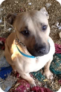 Labrador Retriever/American Pit Bull Terrier Mix Dog for adoption in Wanaque, New Jersey - chewbacca