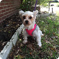 Adopt A Pet :: Pixie - Leesburg, FL