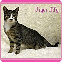 Adopt A Pet :: Tiger Lily - Tracy, CA
