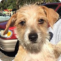 Adopt A Pet :: Harriet - Orlando, FL