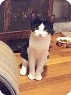 Domestic Shorthair Kitten for adoption in Southington, Connecticut - Tia