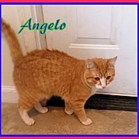 Adopt A Pet :: Angelo - Berkeley Springs, WV