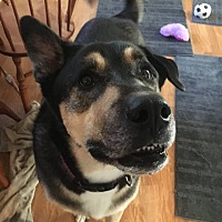 Alaskan Malamute/Shepherd (Unknown Type) Mix Dog for adoption in Mt Prospect, Illinois - Beasty Boy