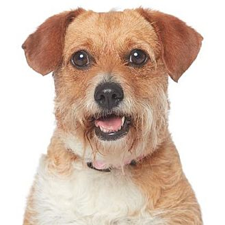 Terrier (Unknown Type, Medium) Mix Dog for adoption in Los Angeles, California - Amy Adams