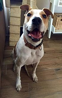 Australian Cattle Dog/Boxer Mix Dog for adoption in Tucson, Arizona - Winslow