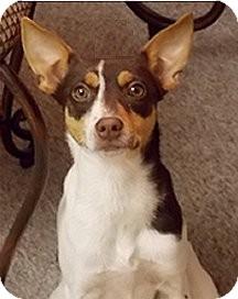 Rat Terrier Mix Puppy for adoption in Jacksonville, Florida - Tidbit