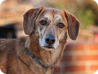 Greyhound/Labrador Retriever Mix Dog for adoption in Alexandria, Virginia - Bosley