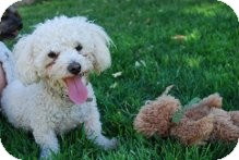 Poodle (Toy or Tea Cup) Dog for adoption in Litchfield Park, Arizona - Lucy - Only $95 adoption!