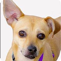 Adopt A Pet :: Caramella perfect girl - Sacramento, CA