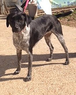 Pointer/Australian Cattle Dog Mix Dog for adoption in Baton Rouge, Louisiana - Oreo