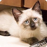 Adopt A Pet :: Lucette - Chicago, IL