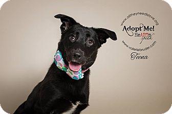 Labrador Retriever Dog for adoption in Medford, New Jersey - Teena