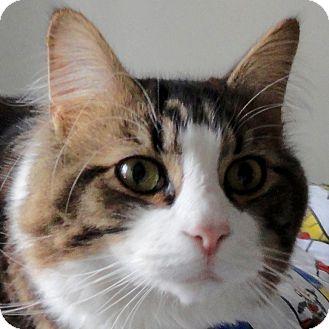 Domestic Longhair Cat for adoption in St. Johnsville, New York - Jasper