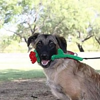 Leonberger Mix Dog for adoption in Tucson, Arizona - Becca / Courtesy Posting