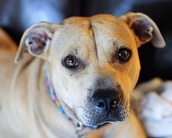 Labrador Retriever/American Staffordshire Terrier Mix Dog for adoption in Fort Lauderdale, Florida - Sue Ellen