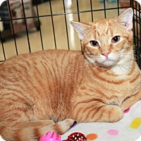 Adopt A Pet :: Cheeto - Youngsville, NC