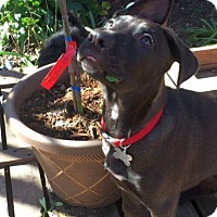 Adopt A Pet :: PUPPY - Aspen!! - Lincoln, CA