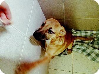 Boxer/Mixed Breed (Medium) Mix Puppy for adoption in Philadelphia, Pennsylvania - Jam