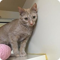 Domestic Shorthair Kitten for adoption in Columbia, South Carolina - Odessa