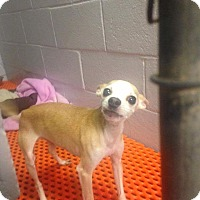 Chihuahua Mix Dog for adoption in Newport, Kentucky - Butch
