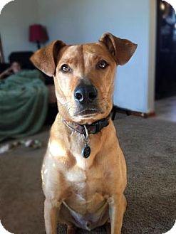 Shepherd (Unknown Type)/Labrador Retriever Mix Dog for adoption in Wichita, Kansas - Opie