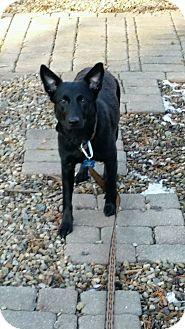 Australian Cattle Dog/German Shepherd Dog Mix Dog for adoption in Northeast, Ohio - Maggie