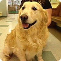 Adopt A Pet :: Ginger - Danbury, CT