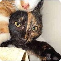 Adopt A Pet :: Harlequin - Washington Terrace, UT