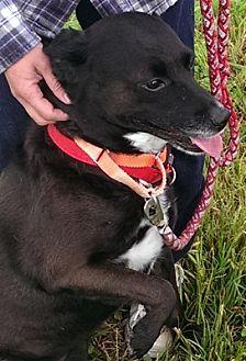 Labrador Retriever/Shepherd (Unknown Type) Mix Dog for adoption in Houston, Texas - Tilly