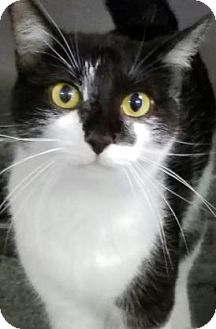 Domestic Shorthair Cat for adoption in Fort Smith, Arkansas - Wild Child