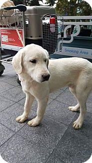 Labrador Retriever Mix Dog for adoption in Los Angeles, California - DURI