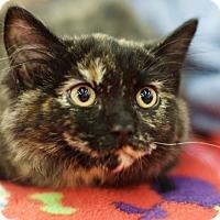 Domestic Mediumhair Kitten for adoption in Great Falls, Montana - Betty Bam-a-lam