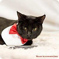 Adopt A Pet :: Mr. Mistoffelees - Glastonbury, CT