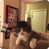 Adopt A Pet :: Stevie 17-0013 - Richardson, TX