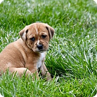 Adopt A Pet :: Carter - Charlotte, NC