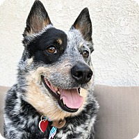 Adopt A Pet :: Pecos Bill - Los Angeles, CA
