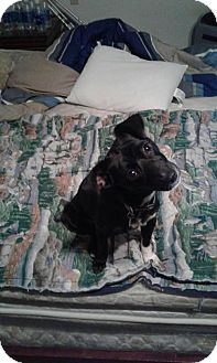 Terrier (Unknown Type, Small)/Chihuahua Mix Dog for adoption in Phoenix, Arizona - Bindi