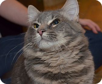 Maine Coon Cat for adoption in Brooklyn, New York - Sammy
