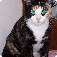 Calico Cat for adoption in Monroe, New Jersey - Leia*MISSING, REWARD OFFERED**