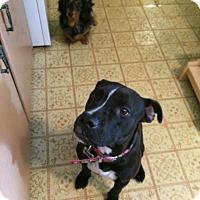 Adopt A Pet :: Gentle Guardian - Madison, NJ