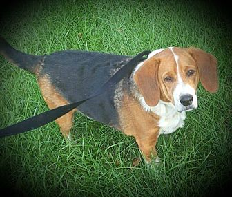 Beagle Mix Dog for adoption in Salisbury, North Carolina - Randall