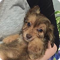 Adopt A Pet :: Wilma - Surrey, BC