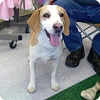 Beagle Mix Dog for adoption in Golden Valley, Arizona - Banjo