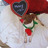 Chihuahua Mix Dog for adoption in Saddle Brook, New Jersey - Mikey