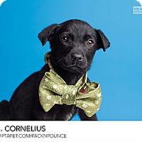 Adopt A Pet :: Dr Cornelius - Ogden, UT