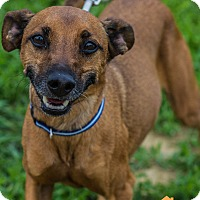 Adopt A Pet :: Scappy - Evansville, IN