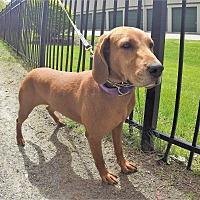 Adopt A Pet :: Blue - Carmel, NY