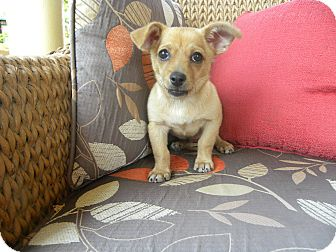 Dachshund/Chihuahua Mix Puppy for adoption in Mission Viejo, California - Corky